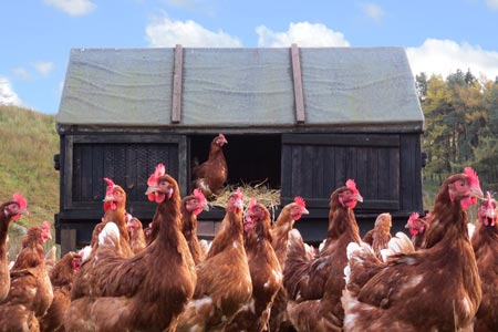 Hens outside next to old wooden shed
