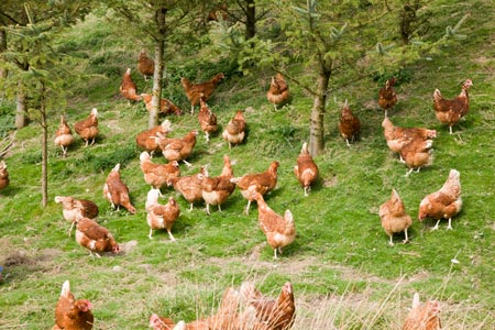 Our free range hens can roam in the countryside.